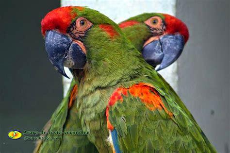 Zoologia Araradetestavermelha (ara Rubrogenys