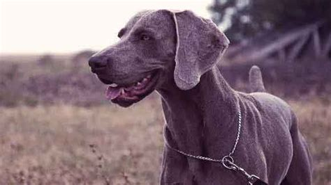 dogs that dont shed weimaraner 20 haired dogs with low grooming needs petcarerx