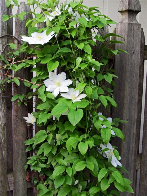 10 Best Flowering Vines For Arches, Pergola, Arbor And