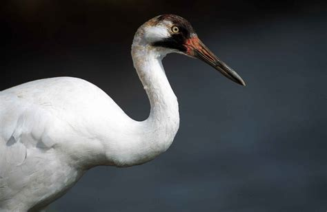 idnr offers reward for whooping crane shooting local