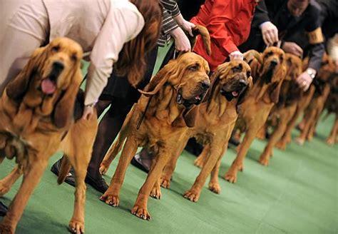 americas premier dog show hosts   breeds  pics