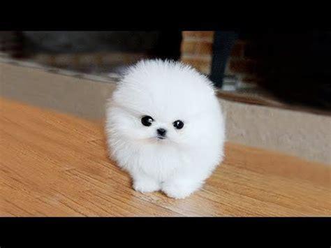 Pomeranian The Cutest Dogs Youtube