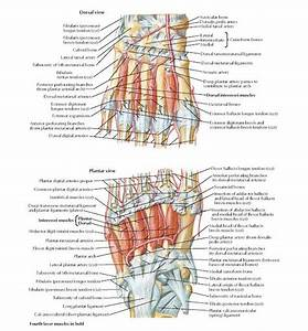 Interosseous Muscles And Deep Arteries Of Foot Anatomy