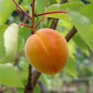 Golden Glow Apricot Tree   Buy Self Fertile Apricot Fruit ...