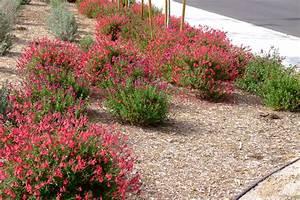 Salvia greggii 'Red Star'
