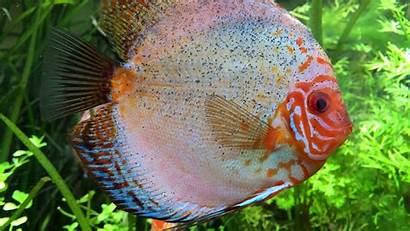 Aquarium Fish Discus Cichlid Pc 1080p Desktop