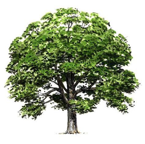 Maryland State Tree Trees Maryland 28 Images Maryland