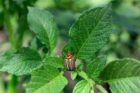 Colorado Potato Beetle Natural Insect Pest Control ...