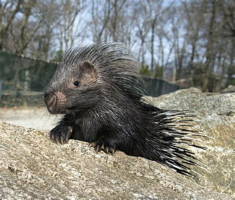 coachella valleys living desert  proud  announce  african crested baby porcupine