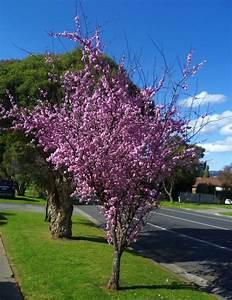Top 10 Trees  U2013 Flowering Plum  Prunus X Blireana