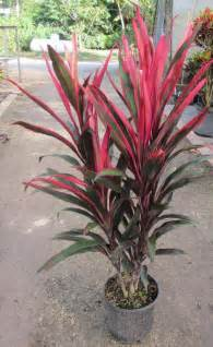 Cordyline Pink Pepper