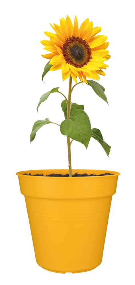 can i grow sunflowers in pots elho growpot yellow sunflower plant pot 30cm grow your own planter 100 recycled ebay