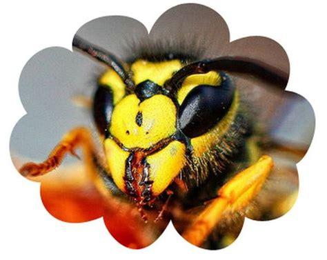 wasp medicine  totem animal spirit medicine
