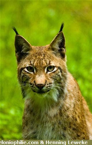 le lynx boreal lynx lynx