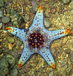 Etoile De Mer Dofus : 204 best sea stars images on pinterest starfish shells and conch shells ~ Medecine-chirurgie-esthetiques.com Avis de Voitures
