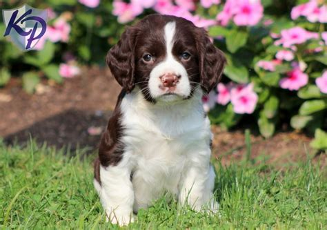 Springer Spaniel Puppies Shedding by Springer Spaniel Puppy Keystonepuppies
