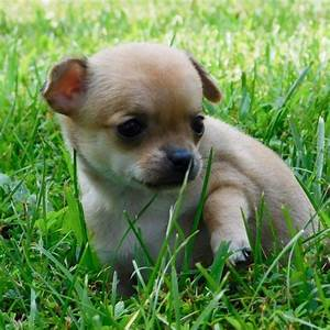 Chiweenie For Sale Online Cheap