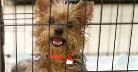 Miniature Yorkshire Terrier Rescued Yorkies In Mississippi