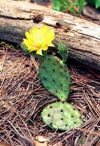 Cactus Sans Epine : figuier de barbarie planter et entretenir ooreka ~ Melissatoandfro.com Idées de Décoration