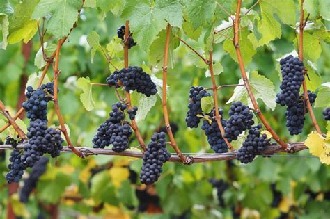 An Introduction to Pinot Noir Wines
