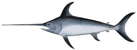 comment cuisiner de l espadon définition espadon xiphias gladius marlin futura