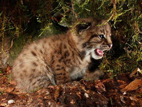 Animal Hd Wallpapers 1600x1200 - animals lynx baby animals 1600x1200 wallpaper high quality