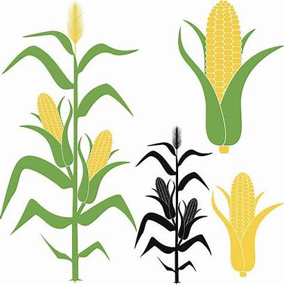 Corn Vector Stalk Clipart Illustration Silhouette Grass