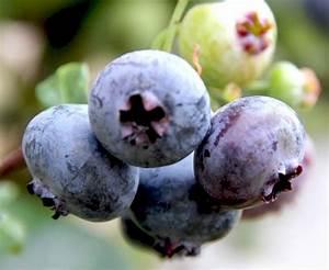 Heidelbeere Im Kübel : heidelbeere sunshine blue vaccinium corymbosum sunshine ~ Lizthompson.info Haus und Dekorationen