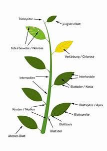 Bau Der Pflanze : bestimmungsmerkmale von pflanzen ~ Lizthompson.info Haus und Dekorationen