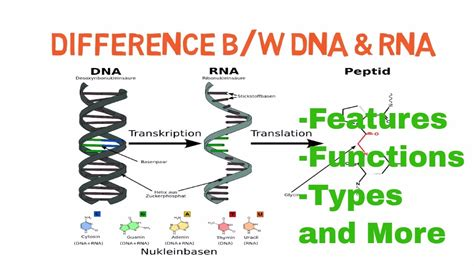 7 Major Differences Between Dna And Rna (dna Vs Rna)  Biology (general Science) Fpsc In Hindi