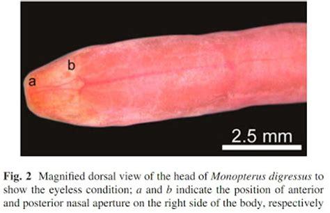 species   science ichthyology  blind eel