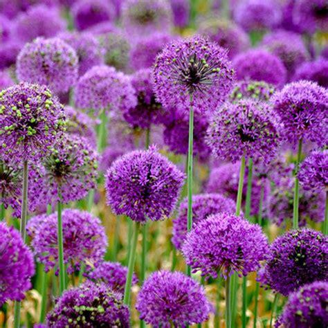 allium colors new 10pcs purple giant allium giganteum flower seeds garden plant wholesale ebay