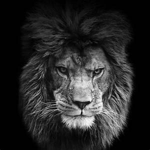 Fierce Lion Wallpaper Quote   www.pixshark.com - Images ...