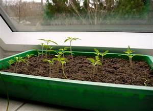 Aprikosenbaum Selber Ziehen : tomaten selber auss en bzw ziehen zeitpunkt ~ Lizthompson.info Haus und Dekorationen
