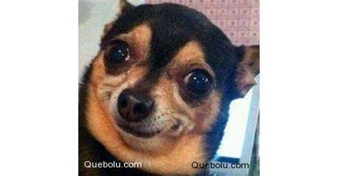 Chihuahua Meme - chihuahua meme 28 images hispanic meme chihuahuas not sure if i m shaking because i m cold
