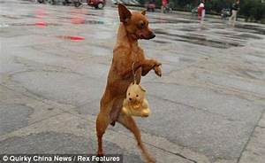 A dog that walks on its hind legs (4 photos). Page 1