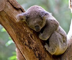 Sleeping Koala Pictures