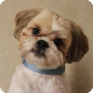 carmel adopted dog 13 0667 naperville il lhasa