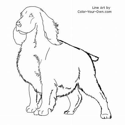 Coloring Spaniel Springer Cocker Pages Dog Line