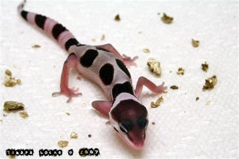 Crested Gecko Shed Box by Adorable Leopard Geckos Page 317