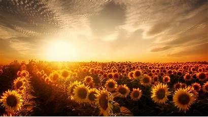 Sunset Sunflowers Wallpapers Resolution Nature Laptop 1080p