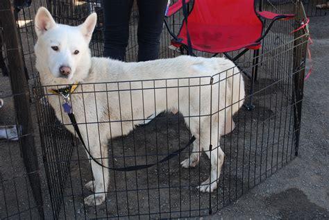 hatchi rocket dog rescue