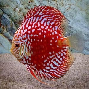 366 best Discus Fish images on Pinterest   Discus fish ...