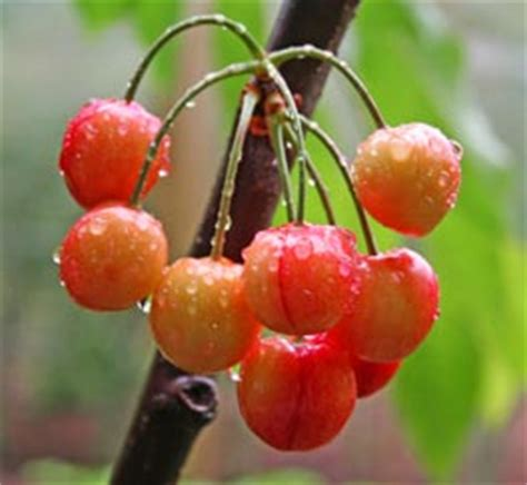 cherry tree varieties cherry tree with cherries www pixshark com images galleries with a bite