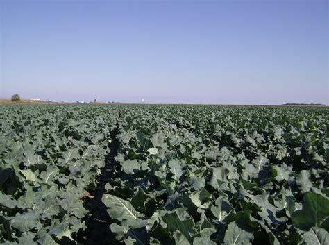 Panoramio - Photo of Broccoli Field