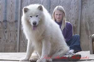 White Giant Alaskan Malamute Puppies