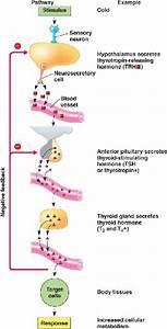 Thyroid Html 45 09t3t4feedbackregulat L Jpg
