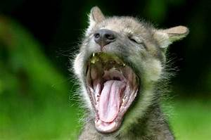 Baby Animals Yawning