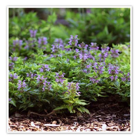 lamium greenaway lamium anne greenaway spotted deadnettle sugar creek gardens plant nursery and garden center