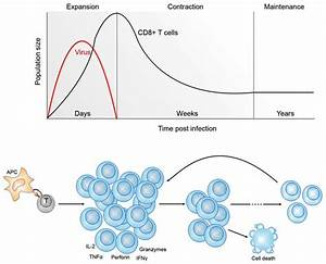 Kinetics Of Cd8  T Cell Differentiation Following Viral